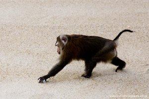 Surin monkey