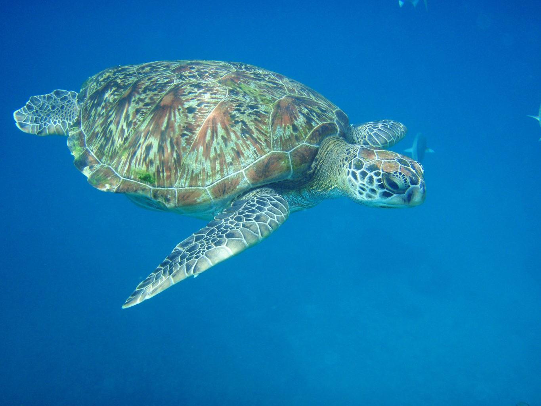 Turtle in the Andaman Sea